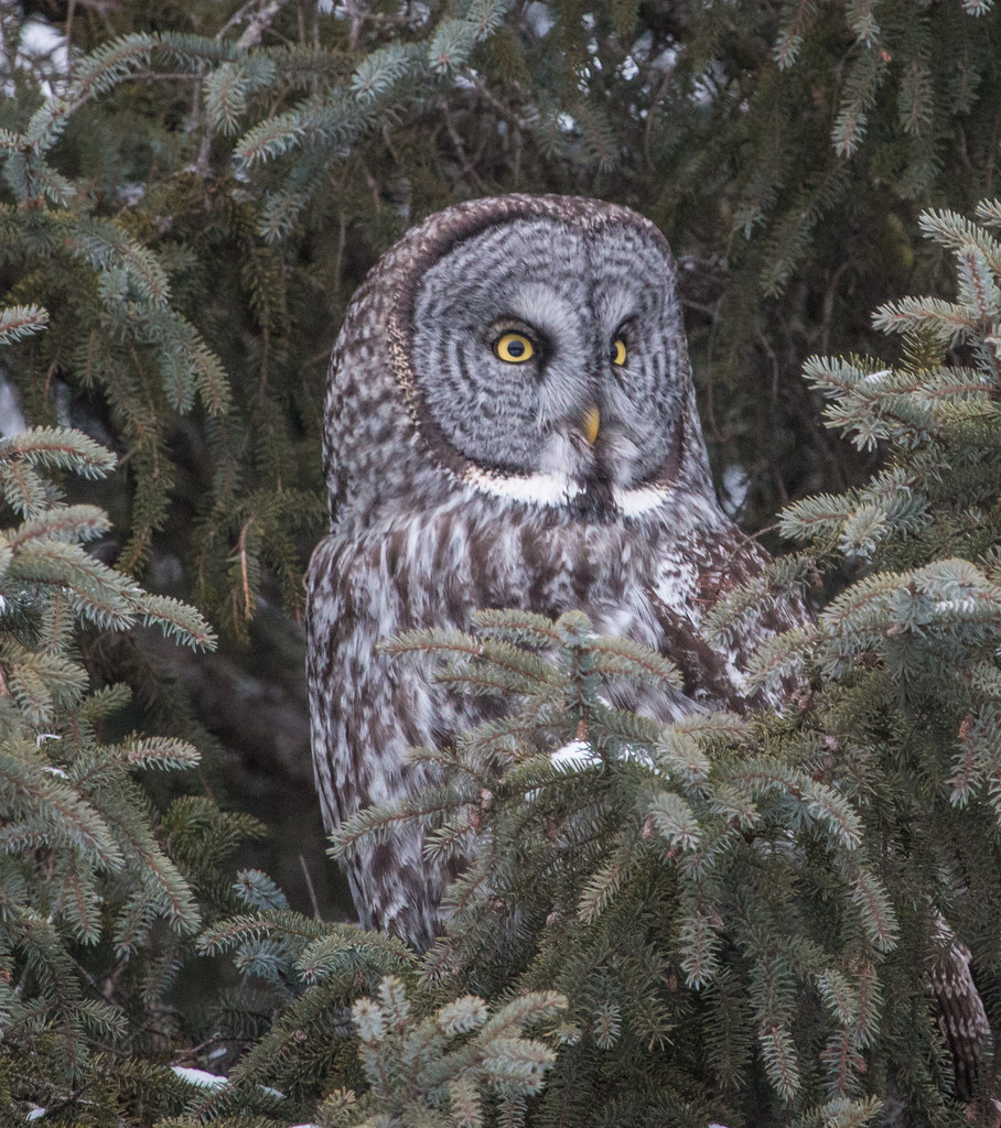 Wild Great Gray Owl