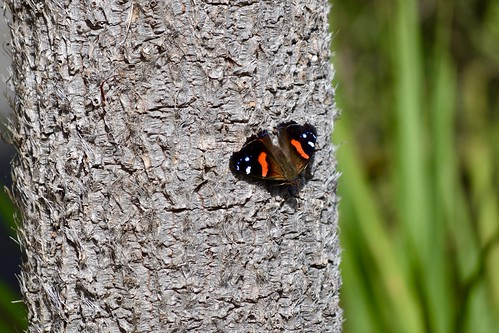 NZ Red Admiral | by ndimmock