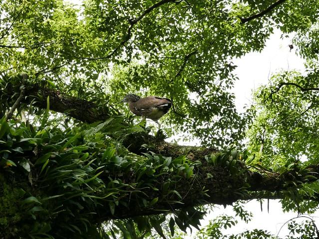 在埔里市中心爬樹,發現一隻始終在架繩處頂徘徊的黑冠麻鷺幼鳥,後來才知道,牠是一窩四口中僅存的最後一隻,除了植物,周邊生態環境充滿著生命的故事。圖片來源:陳雅得。