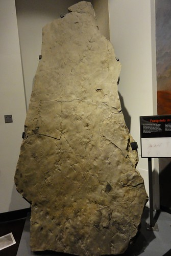 Image shows a huge slab of tan rock standing almost straight up from the floor. It has a lot of divets in it; if the photo is enlarged, footprints and other traces can be discerned.