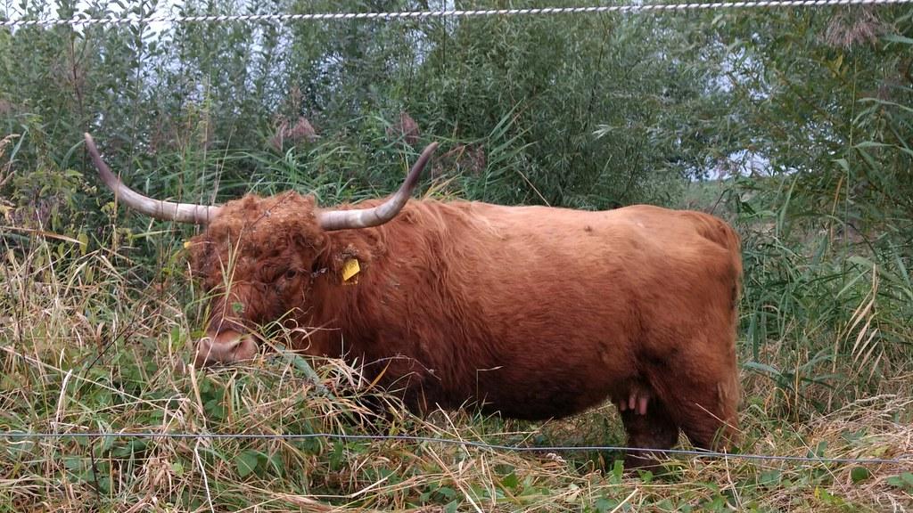 248 Wir können auch schottische Hochlandrinder #Rheinhessen