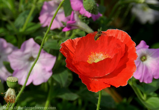 bee on red poppy in the garden - Shibpur Botanical Garden #Kolkata | by moon@footlooseforever.com