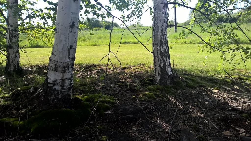 Мох у подножия деревьев