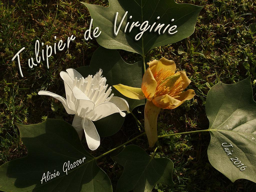 tulipier de virginie | voici la fleur du tulipier de virgini… | flickr
