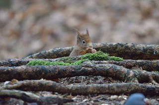 Red Squirrel | by markhows