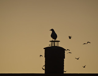 Gull on chimney early morning | by Flower Power girl