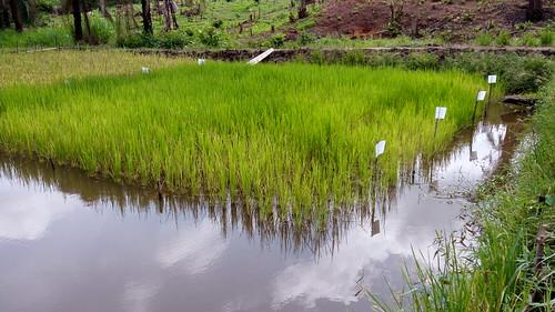integrated rice fish farming in an inland valley swamp are