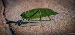 2014 - Copper Canyon - Pea Pod Insect - Katydid