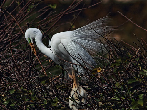 Great Egret at nest 20150212