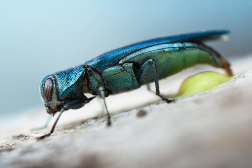 Egg laying Jewel Beetle | by johnhallmen
