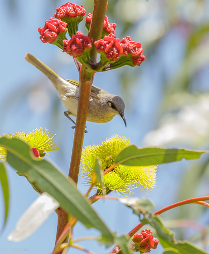 Brown Honeyeater | by gus.meredith