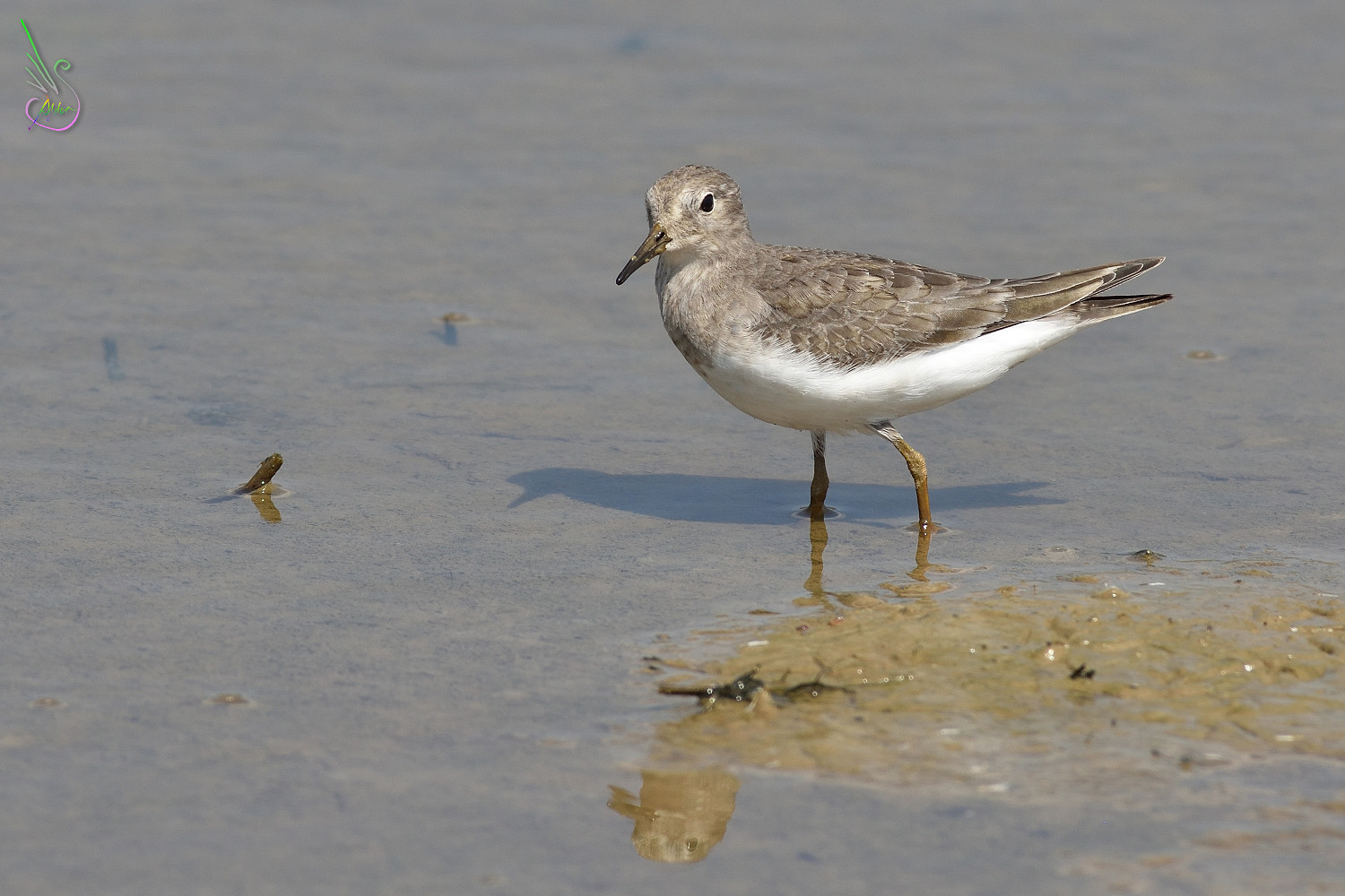 Temminck_Stint_0934