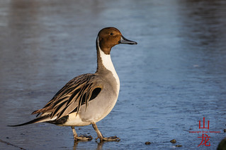 Northern Pintail (Anas acuta) | by DragonSpeed
