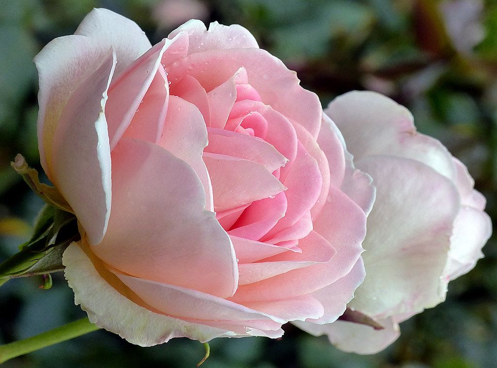 Nancy Steen.Rose. | Nancy Steen was a New Zealand rosarian, … | Flickr