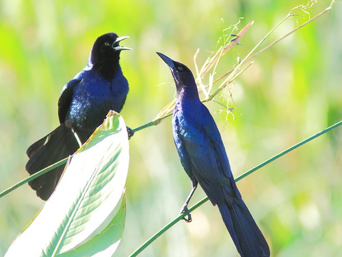 Boat-tailed Grackles 20150212