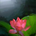 EXPLORED: #49 -                          Lotus Flower Oil Paintings / Lotus flower oil Painting / Photographic images using Akvis Oil Paint Filter -