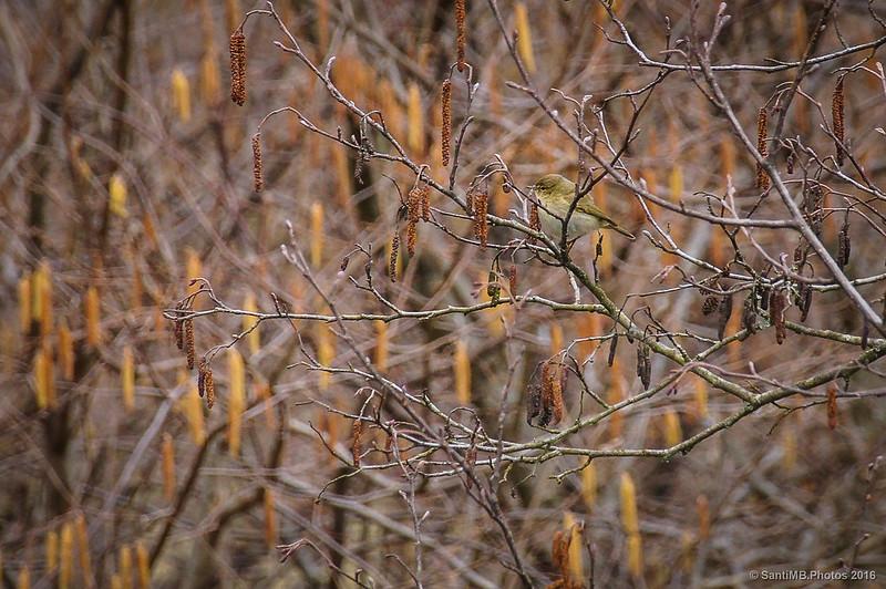 Un mosquitero en una rama