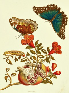 Pomegranate with Blue Morpho Butterflies and Banded Sphinx Moth Caterpillar (1705) | by Swallowtail Garden Seeds
