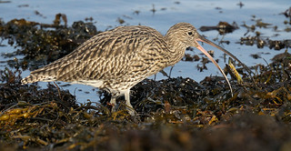 D177073 Eurasian Curlew | by Nick Sidle