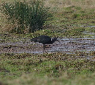 Glossy Ibis | by markhows