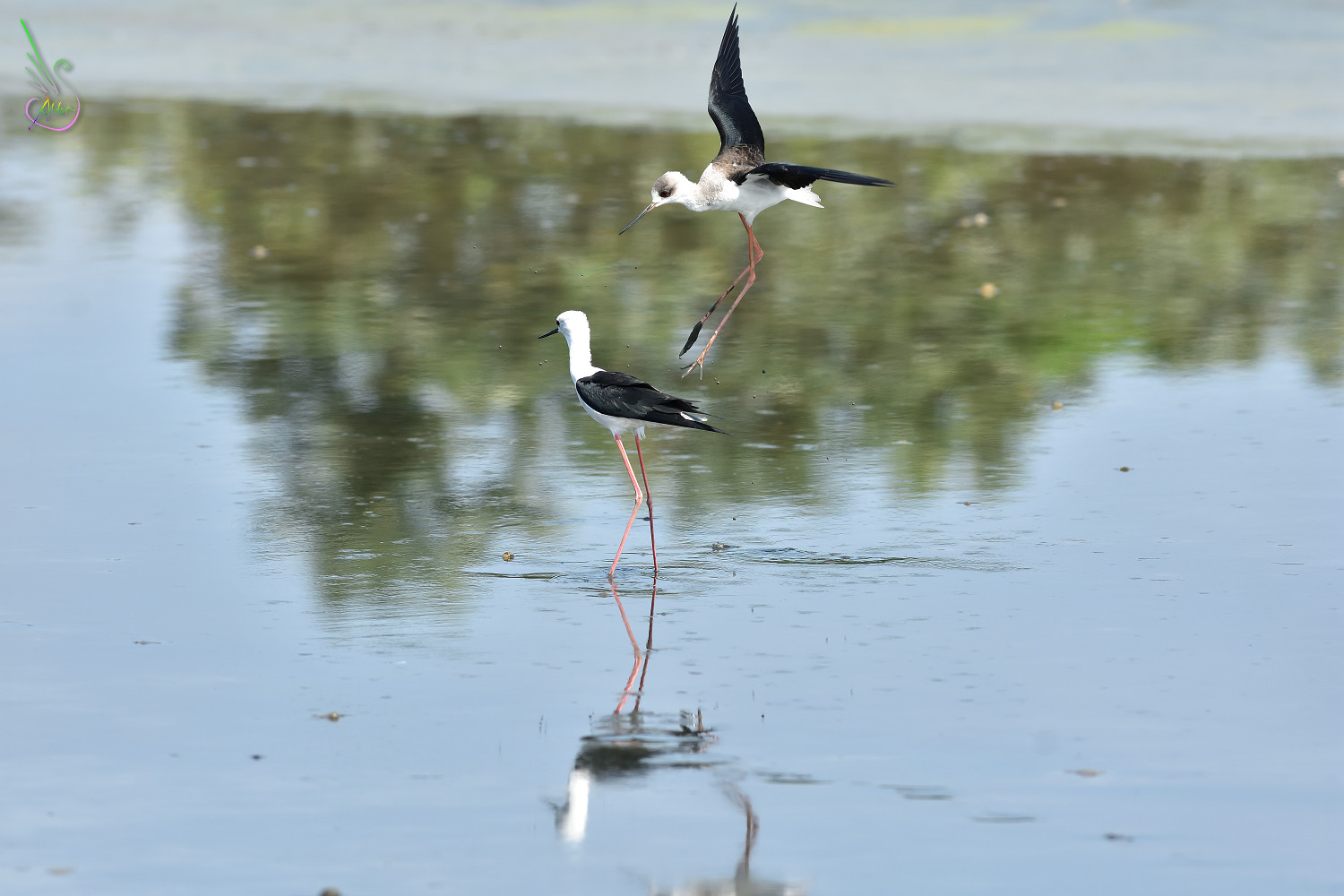 Black-winged_Stilt_1427