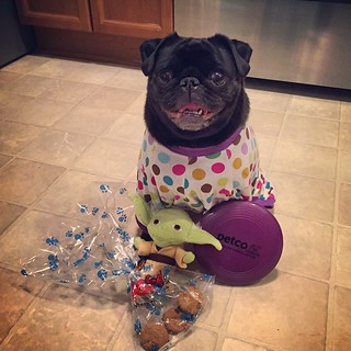I can't believe this #pug turned FOUR YEARS OLD today!! Happy Birthday, Lilly Jo 😝🎁🎊🎉👏🎈 | by franklingraves