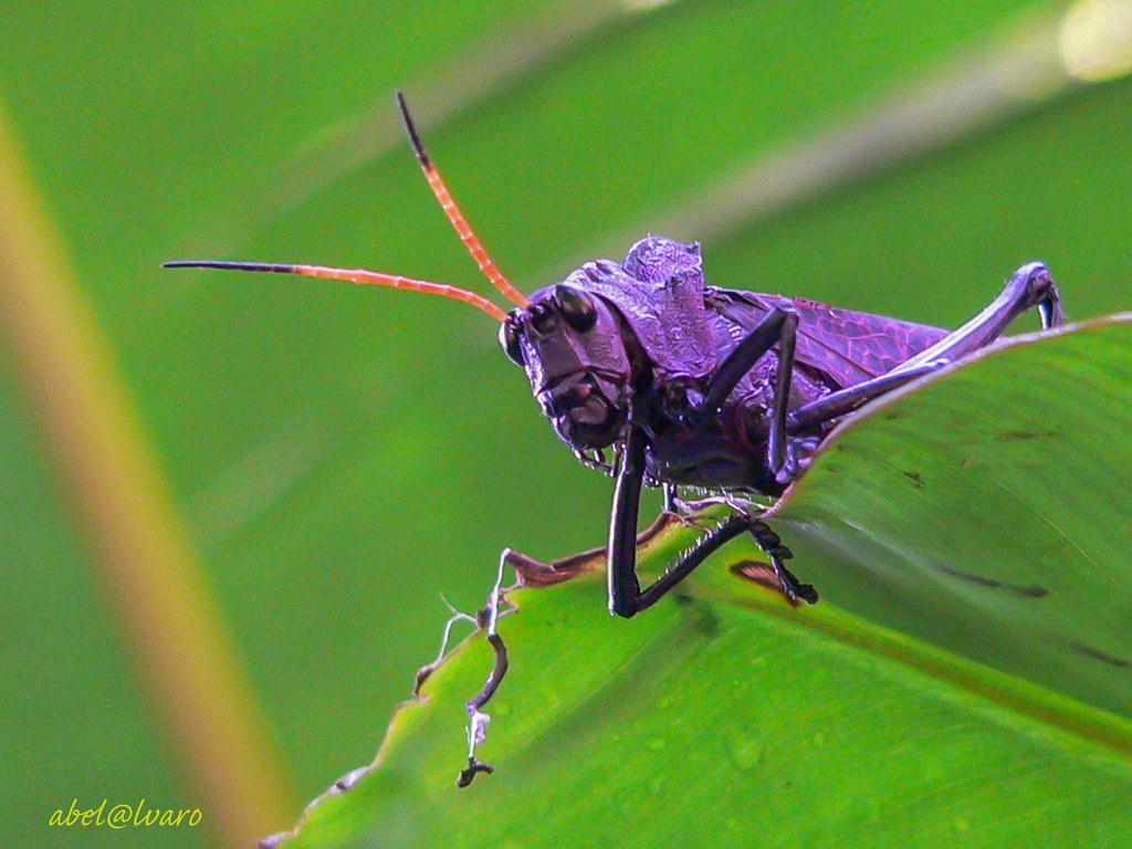 Gafanhoto_Grasshopper