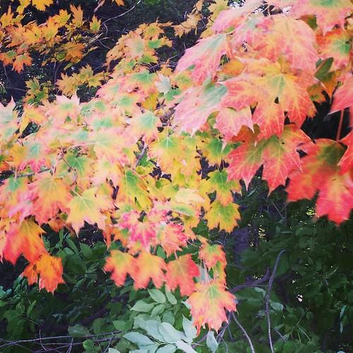 Autumn leaves #ChestnutRidge #OrchardPark #wny #autumn