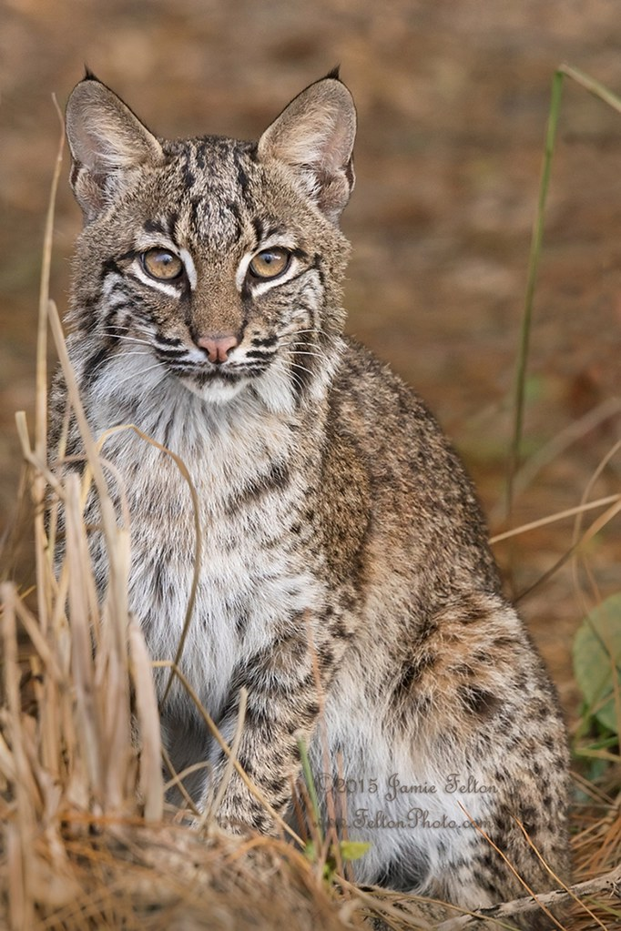 Spot the (wild) Bobcat | This is Spot. He is about 3/4 the ...