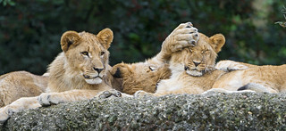 Lion cubs doing nonsense | by Tambako the Jaguar