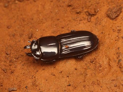 NEED ID (Figulus laevipennis?)