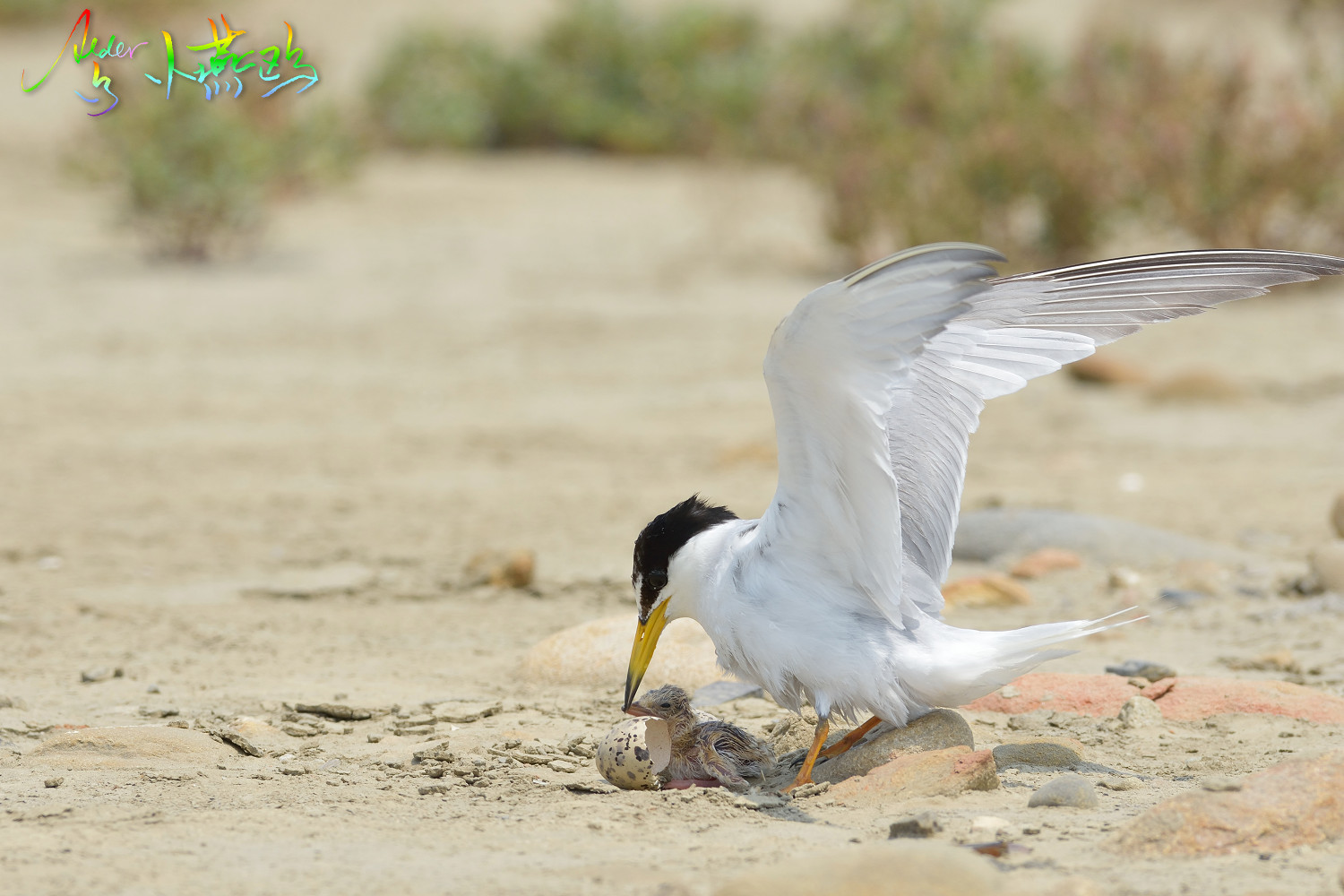 Little_Tern_5286