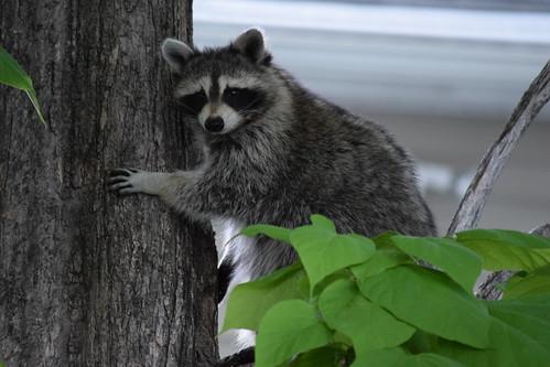 Our neighbor the Raccoon