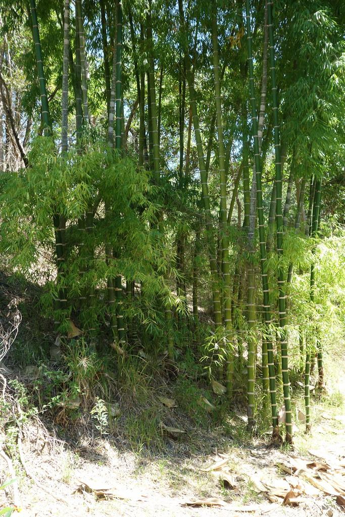 bamboo at pandurunga farm