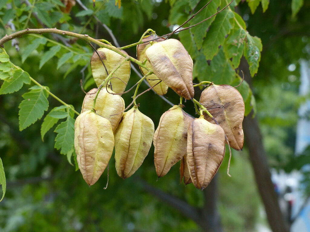 Seed Pods Of Golden Raintree Looks Like A Paper Lantern Flickr