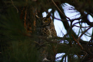 Holly Way Great Horned Owl | by The Happy Campers