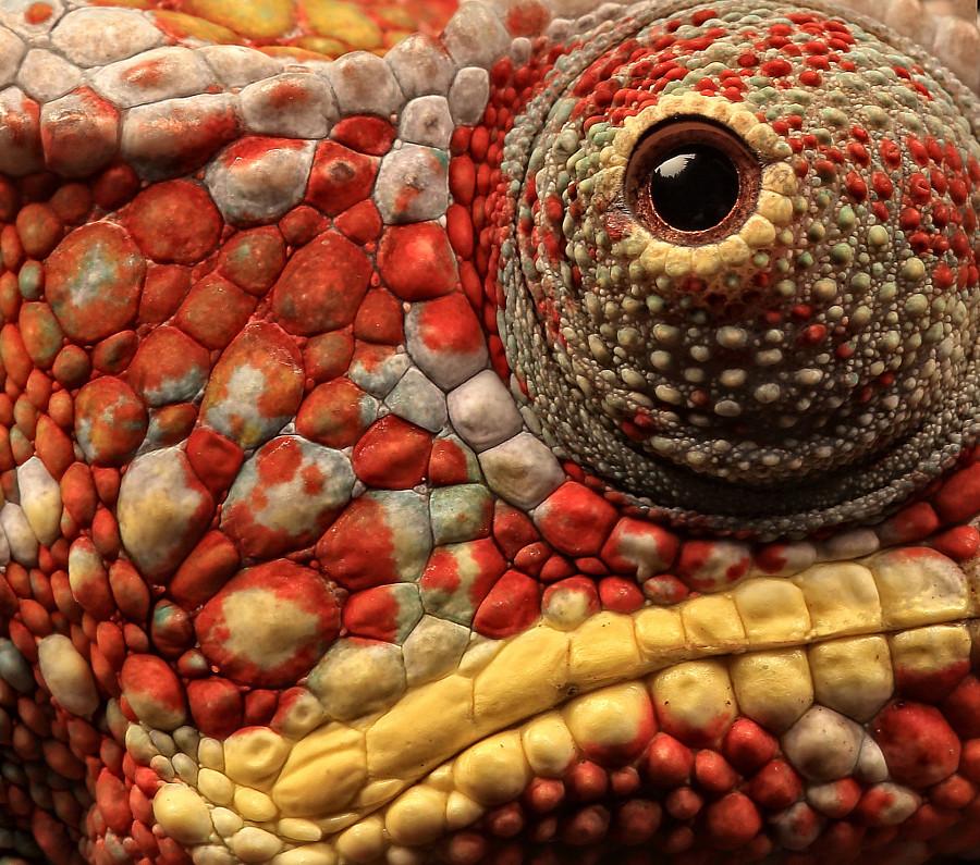 Panther Chameleon | Panther Chameleon close-up | Ceri ...