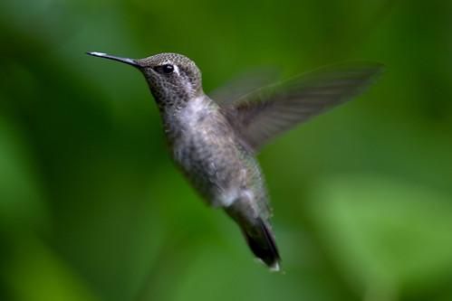 Anna's Hummingbird ?