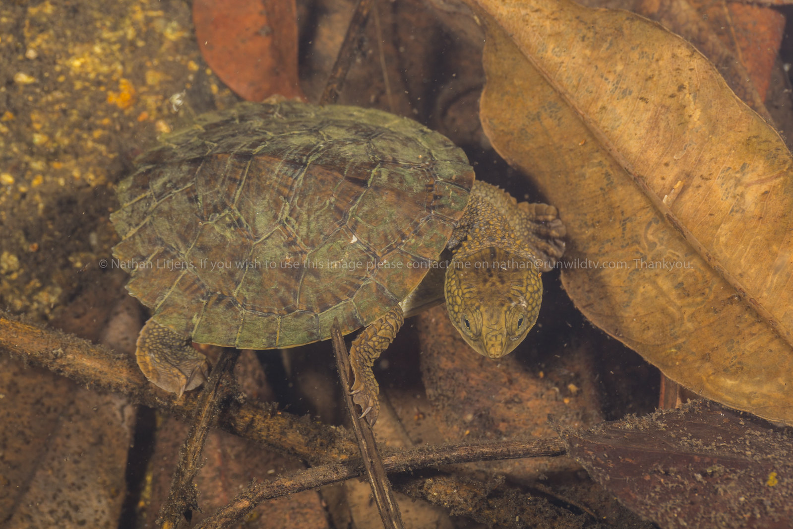 Saw shelled turtle (Wollumbinia latisternum)