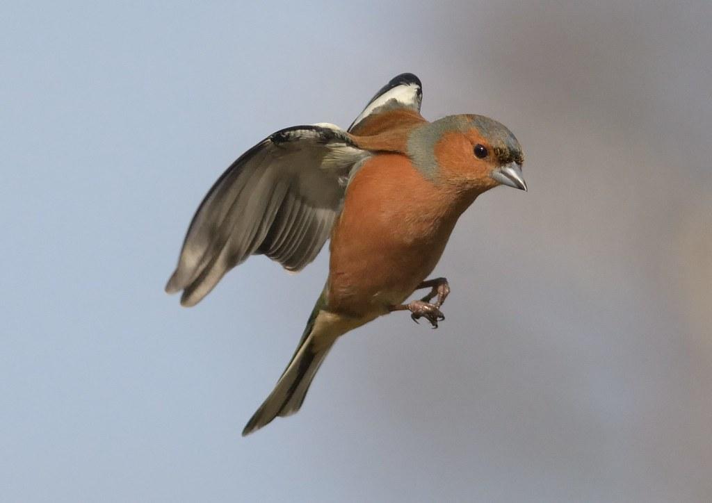 Chaffinch (Fringilla coelebs), Male, Hovering-