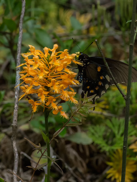 Pollination of Yellow fringed orchid flowers