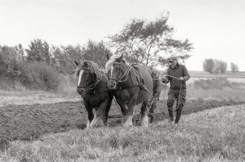 Pløjning med jyske heste. - Foto Start