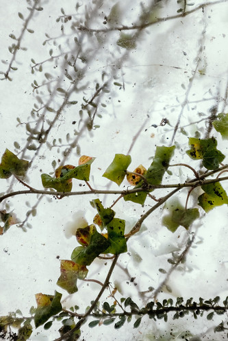 snow | ivy | glass | harlow carr ... 3/52 | by John FotoHouse