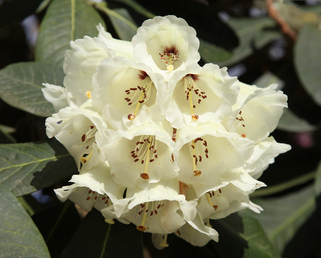 rhododendron singles The genus rhododendron is part of the family ericaceae, order ericales, subclass dilleniidae, class magnoliopsida, division magnoliophyta, superdivision, spermatophyta, subkingdon tracheobionta, and kingdom plantae rna: (short for ribonucleic acid) is a complex, organic, single-stranded molecule that is found in cells.