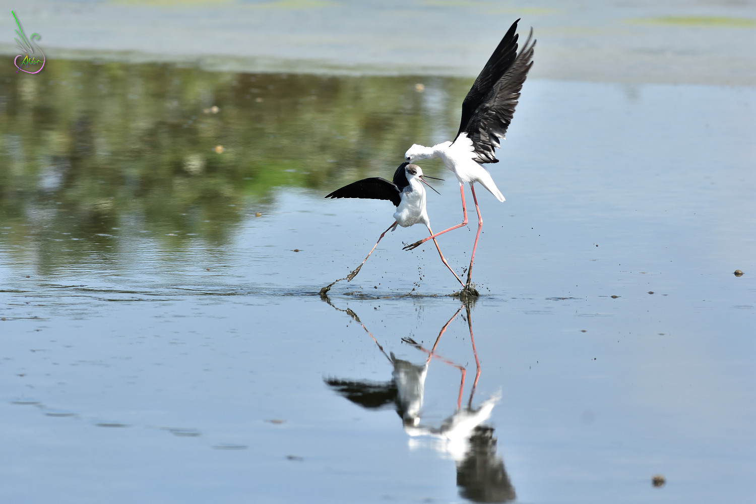 Black-winged_Stilt_1430