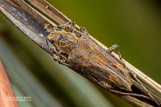 Longhorn beetle (Cerambycidae) - DSC_2848