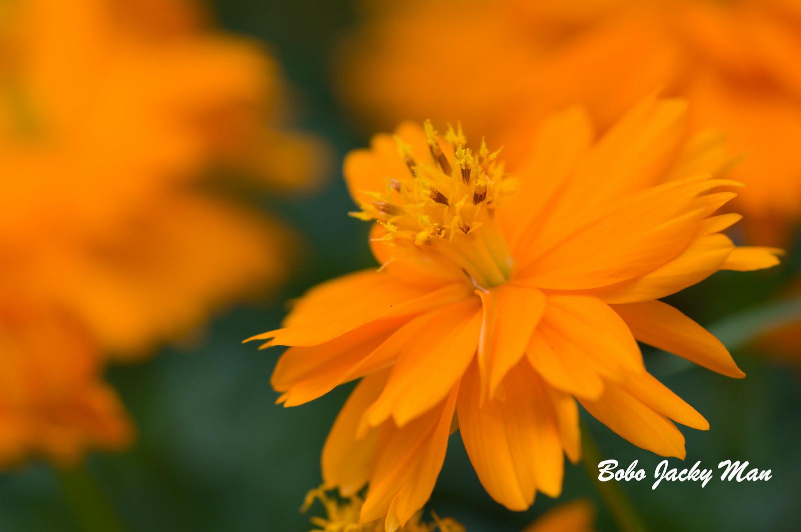 百微小小花