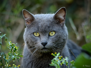 Cenizo (gray cat) | by tapeda