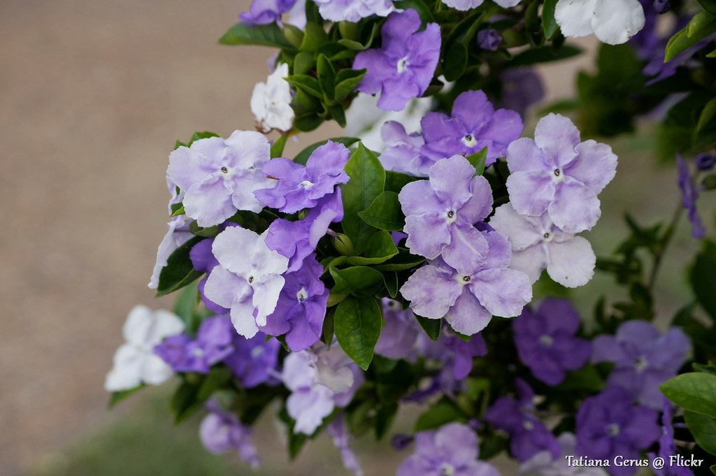 Yesterday Today Tomorrow Flowers Brunfelsia Brunfelsia