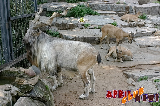 Винторогий козёл (Мархур)